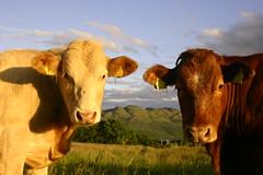 Why so serious? (flxnn) Tags: cattle animals animal closeup summer outdoor nature ireland grassland evening rural