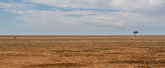 It's Tough Being a Dog in Outback Australia! (Cisc Pics) Tags: boulia queensland australia desert burkeriver minminlights fatamorgana tree plain gibber dog nikon nikkor panorama panoramic stitched 18200mm clouds dirt nature