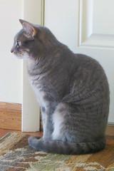 Millie 11 July 2017 5668Ri 4x6 (edgarandron - Busy!) Tags: cat cats kitty kitties tabby tabbies cute feline millie graytabby
