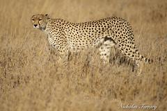 Cheetah (Nicholas Ferrary) Tags: nicholasferrary nature nikon nikond800e nikon200400mmvr nikond810 d800e d810 200400mm nikon200400vr2 animals mammals mammallife cats cheetah serengeti serengetinationalpark wildlife africa tanzania morning dusk dawn plains
