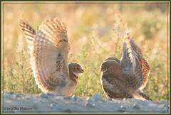 Comparing Notes 6733 (maguire33@verizon.net) Tags: bird burrowingowl owl owlet siblings wildlife