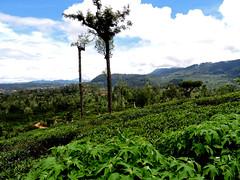 Tea estate inSri Lanka (AirSL-D) Tags: tea sl srilanka green trees nature national natural beautiful export economy drink plantaion english england sky blue colour clouds high highland country island mountains