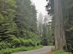 Entering  Prairie Creek Redwoods State Park in California. (TrailMob.com) Tags: prairiecreekredwoodsstatepark hikingtrail hiking travel nature naturephotography camping scenery backpacking outdoors outdoorrecreation outside optoutside trailmob california explorecalifornia discovercalifornia hikingcalifornia redwood redwoods hikingredwoods redwoodnationalpark redwoodsnationalpark redwoodsstatepark