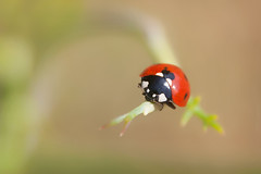 Lady In Red (Luis-Gaspar) Tags: animal insect insecto joaninha ladybug ladybird coccinellidae coleoptera polyphaga cucujoidea portugal oeiras pacodearcos nikon d60 18105 f56 1800 iso400