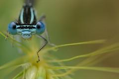 be smile... (andrea.zanaboni) Tags: damsel libellula nikon macro occhi eyes blu sguardo insetti insects