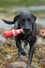 Nero (Tor Arne Uran) Tags: black lab norway kristiansund frei labrador retriever water