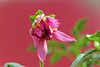 Free Bloom (traptiantiwary) Tags: flower flowerbud gardenflower dahlia colors pink nature bloom canon flowerpetals