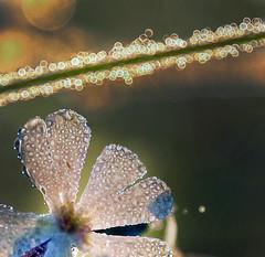 Small great world (Robyn Hooz) Tags: macro flower rugiada pearls drops dew dawn small piccolo