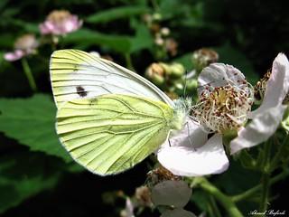 Butterfly 1329