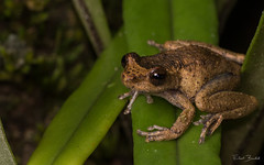 Common Mist Frog (Litoria rheocola) (elliotbudd) Tags: common mist frog litoria rheocola endangered creek hylidae babinda boulders qld queensland elliot budd mistfrog