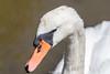 Swan-0016.jpg (vorneo) Tags: familyanatidae binomialnamecygnusolor kingdomanimalia orderanseriformes speciescolor bird wildbird wild muteswan classaves swan phylumchordata genuscygnus