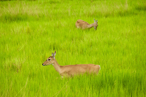 brazil-pantanal-caiman-lodge-marsh-deer-couple-copyright-thomas-power-pura-aventura