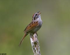 """Swamp Sparrow! (""""DEB"""") Tags: d50 nikon200500mm bird ctbird singingbird swampsparrow"""