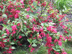 ** Le Weigela ** - 2/2 (Impatience_1(retour progressif)) Tags: weigela arbuste shrub fleur flower m impatience explore explorer xplor saveearth supershot coth sunrays5 coth5 abigfave alittlebeauty