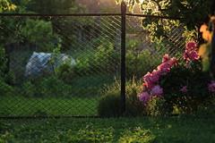 2017_05_24_05387 (bencze82) Tags: voigtländer apolanthar 90mm canon eos 700d garden kert sunset naplemente flower plant virág pünkösdirózsa home otthon