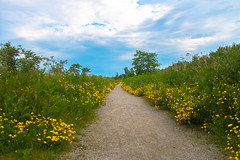 The Golden Path (A Great Capture) Tags: agreatcapture agc wwwagreatcapturecom adjm ash2276 ashleylduffus ald mobilejay jamesmitchell toronto on ontario canada canadian photographer northamerica spring springtime printemps 2017 eos digital dslr lens canon 70d natur nature naturaleza natura naturephotography naturethroughthelens scenery scenic sky himmel bluesky clouds nuvole wolken nubes outdoor outdoors vibrant colorful cheerful vivid bright fleur flor plant plants flower bloom blossom woods trees tree path way gold golden yellow
