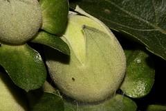 Hibiscus insularis (andreas lambrianides) Tags: hibiscusinsularis malvaceae phillipislandhibiscus australianflora australiannativeplants australiannativeflowers hibiscus flowerbuds threatenedspecies