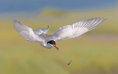 Slippery Catch 1/2 (bmse) Tags: forsters tern catch slippery fish toss bolsa chica canon 7d2 400mm f56 l bmse salah baazizi wingsinmotion