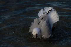 Peacock gull! ... (natalia.bird_nerd) Tags: bird gull silvergull water bathing rye ryebeach ryejetty