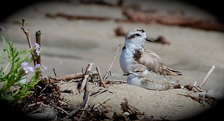 Snowy Plover Dad with chick