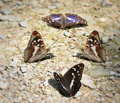 Purple Emperor (~ **Barbara ** ~) Tags: butterfly purpleemperor purple large wildlife woods macro photoshop four ground path northamptonshire fermyn canon7dii