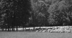 sheep in the city (Rosmarie Voegtli) Tags: peaceful sheep munich münchen nymphenburg blackandwhite monochrome animal herd herde schafe pastoral