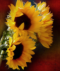 Hot,Hot,Hot (Jean Turner Cain) Tags: flower flora floral flowers fleur bloem blomst sunflower jeanturnercain texture textured textures adobe photoshop