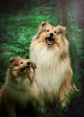 Gary & Gracja (aurorapesonen) Tags: dogphotography dog dogportrait dogmodel dogphotographer collie domestic outdoor animalphotography animal pet pets dogs poland canon forest green happy beautiful light puppy colliepuppy