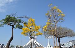 IGREJAS EM BRASILIA - CATEDRAL METROPOLITANA DE BRASILA (isaque_almeida...........registrando momentos) Tags: flores amarelo ipes catedral esplanda brasilia igrejas monumento ceu nuvem azul