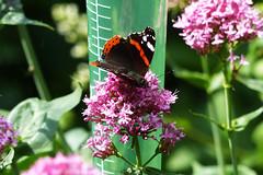 Atalanta Explore 20170608 (Olga and Peter) Tags: atalanta vlinder butterfly redadmiral fp1150494