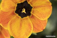 Fine Lines (rumimume) Tags: potd rumimume 2017 niagara ontario canada photo canon 80d sigma spring flower nature outdoor colour color sun macro closeup 50mm 25