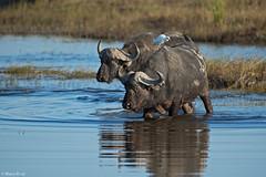 botswana-2017_DSC5496b (Marco Pozzi photographer (880k+ views, thanks)) Tags: africanbuffalo chobe chobenationalpark choberiver botswana specanimal
