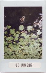 Duck-side Down (Say_No_To_Turtles) Tags: fujifilm instax neo 90 polaroid instant ducks river water lilly upsidedown