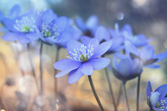forest life (C-Smooth) Tags: flora flowers forest life nature macro hepaticanobilis anemone
