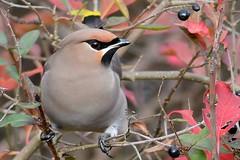 HNS_0970 Pestvogel : Jaseur boreal : Bombycilla garrulus : Seidenschwanz : Bohemian Waxwing