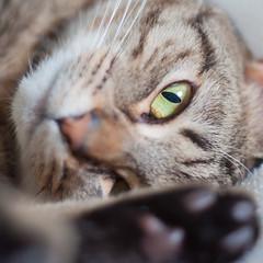 Cats Eye (The Unexplored) Tags: cat kitten mackarel tabby catseye nikon olympus 50mm zuiko adaptor thegrimgit grimgit unexplored theunexplored paw blurry dof depth focus d5000