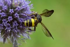 Cerceris hortivaga f - 02 VII 2017 (el.gritche) Tags: hymenoptera france 40 garden crabronidae cercerishortivaga female apiaceae eryngiumplanum wasp guepe