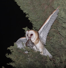 Our Barn Owl with his reward as promissed (sharp shooter2011) Tags: barnowl raptor avianphotography birdphotography naturephotography wildlifephotography bird fledglingowl dinnertime