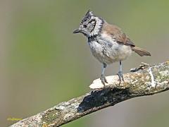 Herrerillo capuchino (Lophophanes cristatus) (6) (eb3alfmiguel) Tags: aves pajáros insectívoros passeriformes paridae herrerillocapuchino