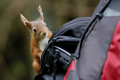 Hitching a Ride (Fly~catcher) Tags: sciurus vulgaris red squirrel snaizeholme yorkshire dales