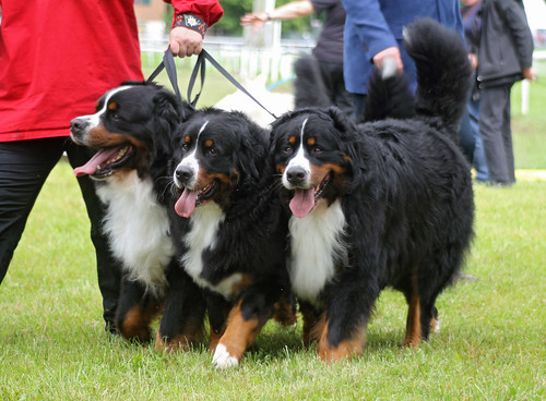 Bernese Mountain Dogs at dog show