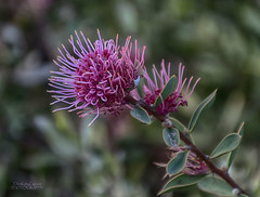Hakea burrendong beauty (ChrisKirbyCapturePhotography) Tags: hakea hakeaburrendongbeauty pink pinkflower australiannativeplant scrub australian chriskirbycapturephotography
