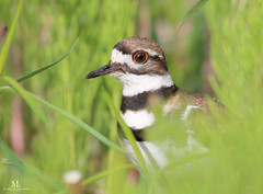 Kildeer- Pluvier kildir - Charadrius vociferus (Maxime Legare-Vezina) Tags: bird oiseau nature wildlife animal canon quebec canada