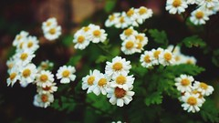 DSC02892-03 (suzyhazelwood) Tags: floral flowers daisies daisy garden sony a6000 summer creativecommons white yellow