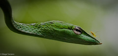Magal Sanjeev (magalsanjeev) Tags: serpent snake reptile green canon india vine wild life close eye up spider head on