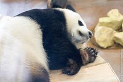 IMG_0429.jpg (wfvanvalkenburg) Tags: ouwehandsdierenpark panda familie