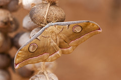 Silk butterfly (wietsej) Tags: silk butterfly maikal hills chhattisgarh india sel1670z sonysal135f18 13518 sal135f18z sonnar13518za
