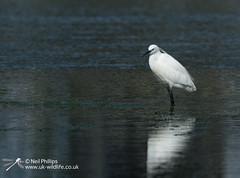 Little egret in West Looe River (Neil Phillips) Tags: ardeidae aves egrettagarzetta littleegret neoaves pelecaniformes bird footed heron longlegs longneck yellow
