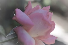 ROSA (ameliapardo) Tags: rosas flores plantas jardines naturaleza andalucia sevilla españa fujixt1