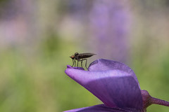 Fly macro (steffos1986) Tags: macro fly bokeh insect wild forest garden superyashinonr vintage wideangel m42 nikon d5500 makro closeup color contrast flower flowers